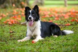 raças de cães para o campo